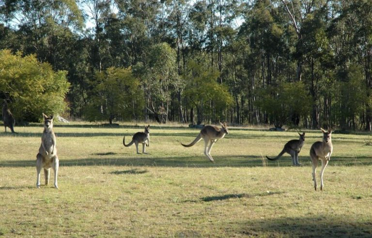 Kangaroos at Hunter Hideaway Cottages